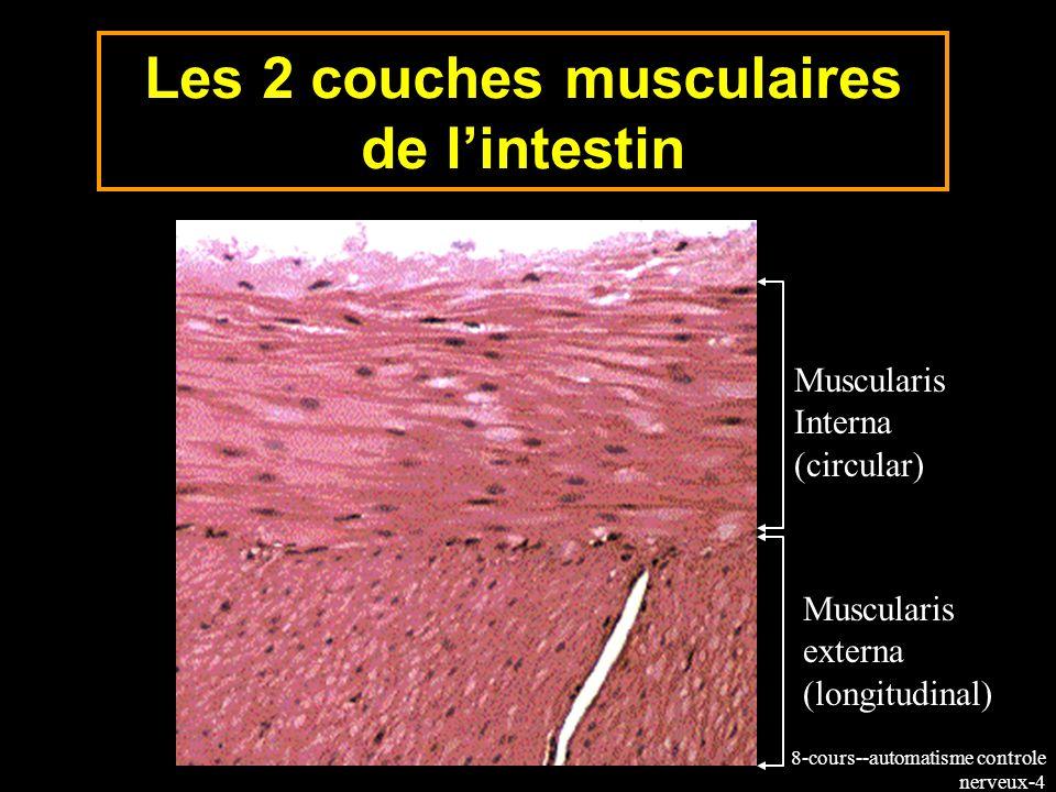 8-cours--automatisme controle nerveux-25 Les cellules de Cajal assurent le relais entre linnervation intrinsèque intramurale et la musculature lisse varicosités axonales Les neurotransmetteurs diffusent à partir des varicosités axonales vers les cellules interstitielles de Cajal (organisation synaptique dite en passage) Cellules de Cajal Muscle lisse Innervation extrinsèque