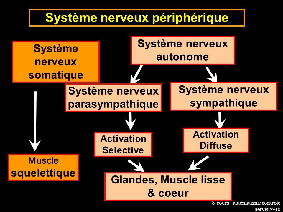 8-cours--automatisme controle nerveux-40 Muscle squelettique Système nerveux périphérique Système nerveux somatique Système nerveux autonome Système n