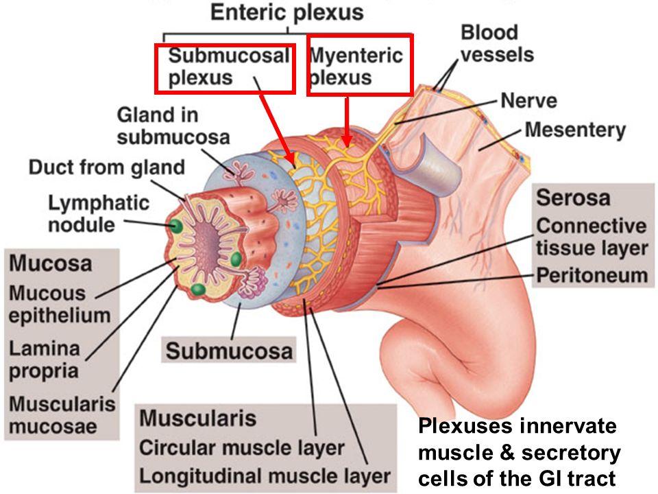 8-cours--automatisme controle nerveux-27 Les plexus Le système nerveux entérique est constitué de deux plexus ganglionnaires qui s étendent sur toute la longueur du tube digestif – le plexus myentérique (Auerbach) qui se trouve entre les couches musculaires longitudinale et circulaire et qui contrôle la motricité – le plexus sous-muqueux(Meissner) situé entre la couche musculaire circulaire et la muqueuse intestinale et qui contrôle les sécrétions