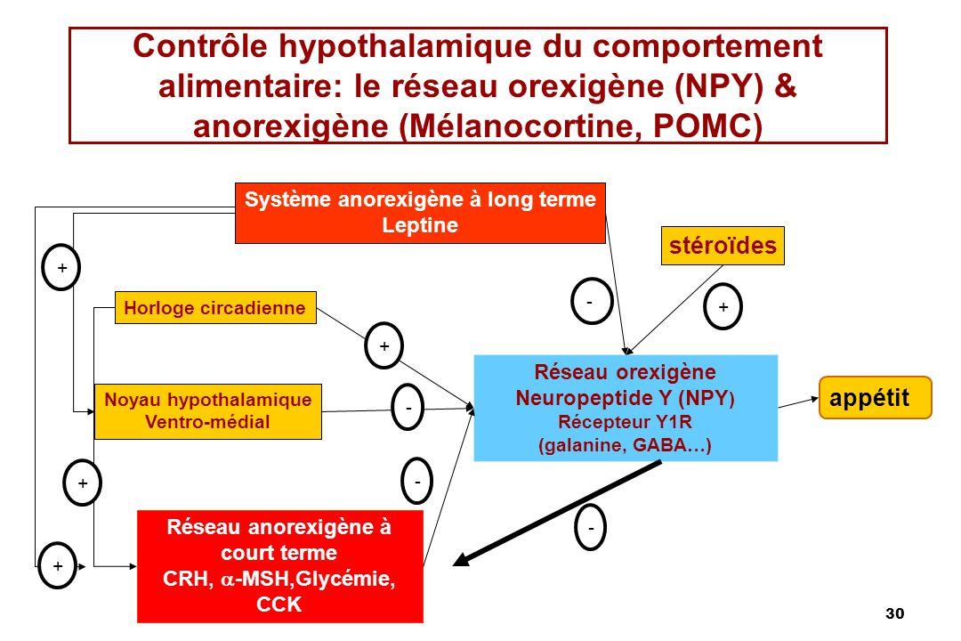 30 Contrôle hypothalamique du comportement alimentaire: le réseau orexigène (NPY) & anorexigène (Mélanocortine, POMC) Système anorexigène à long terme Leptine stéroïdes Horloge circadienne Noyau hypothalamique Ventro-médial Réseau orexigène Neuropeptide Y (NPY ) Récepteur Y1R (galanine, GABA…) Réseau anorexigène à court terme CRH, -MSH,Glycémie, CCK appétit + + + + - - - + -