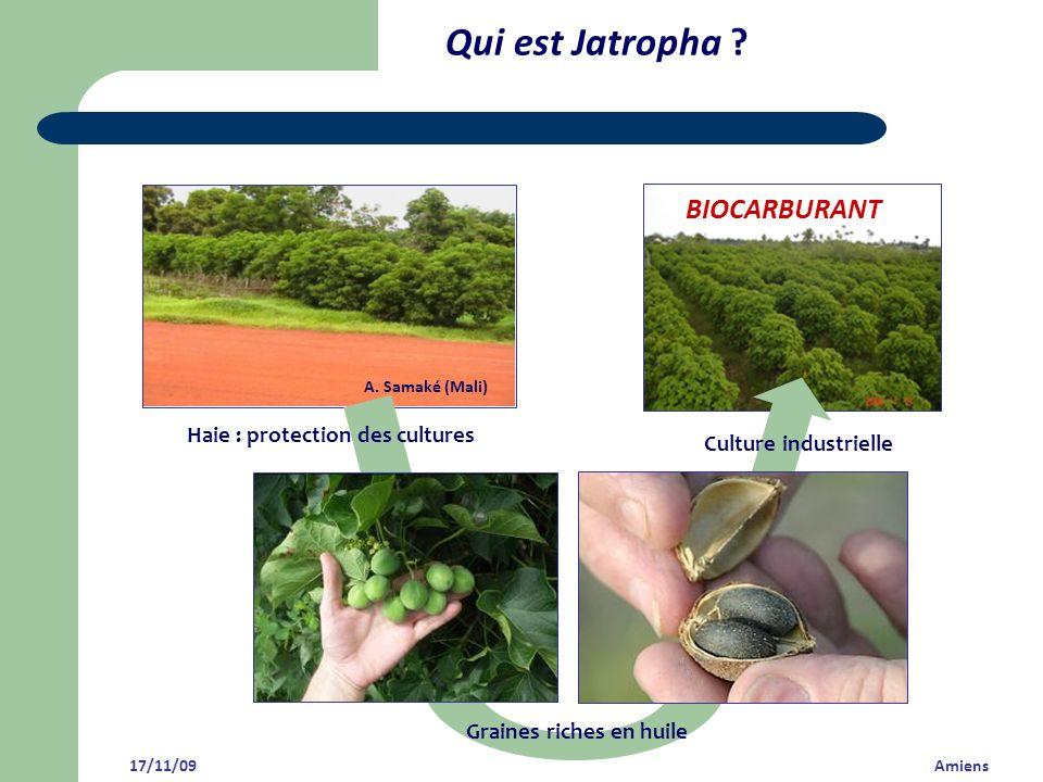 Qui est Jatropha ? A. Samaké (Mali) Culture industrielle Graines riches en huile Haie : protection des cultures 17/11/09 Amiens BIOCARBURANT