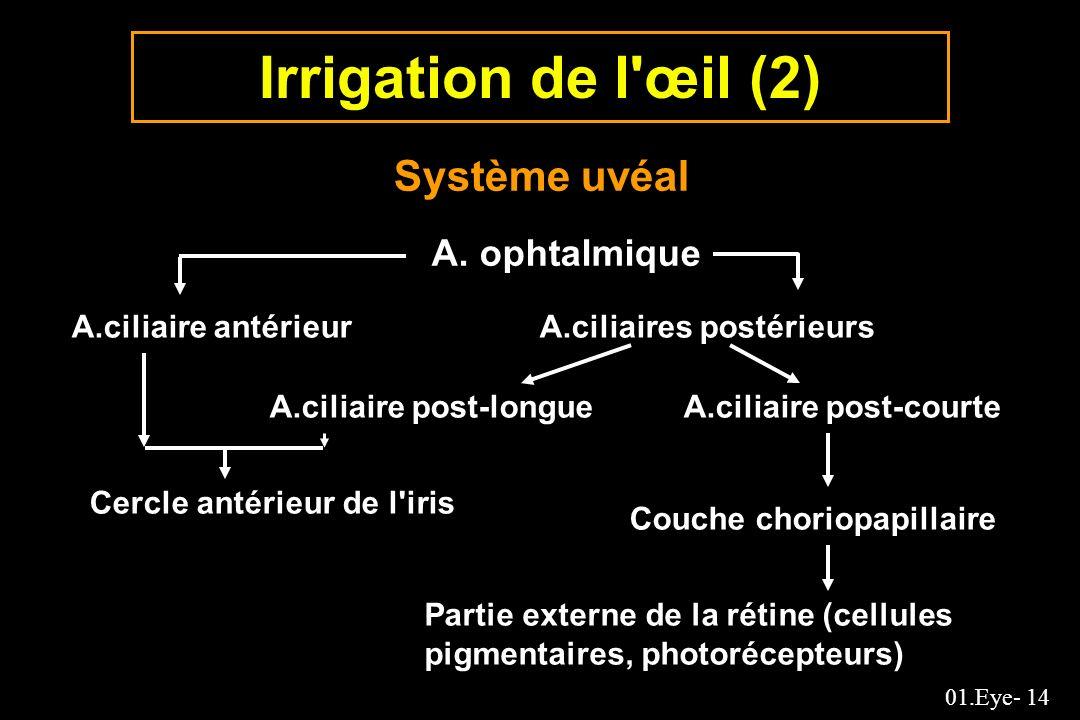 01.Eye- 14 Irrigation de l'œil (2) Système uvéal A. ophtalmique A.ciliaire antérieurA.ciliaires postérieurs A.ciliaire post-longue Cercle antérieur de