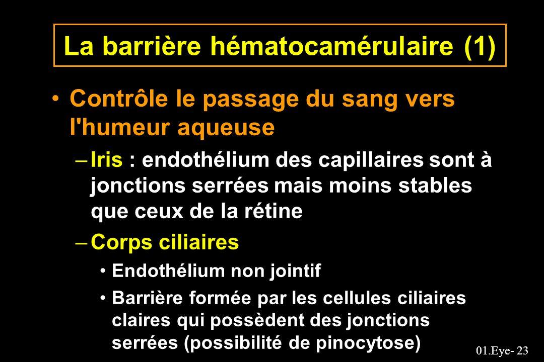 01.Eye- 23 La barrière hématocamérulaire (1) Contrôle le passage du sang vers l'humeur aqueuse –Iris : endothélium des capillaires sont à jonctions se