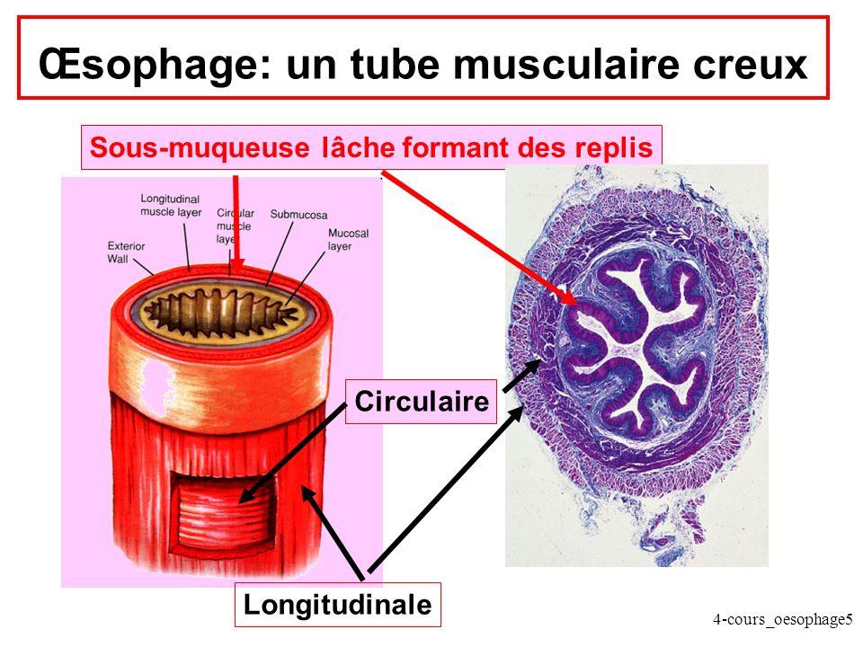 4-cours_oesophage5 Œsophage: un tube musculaire creux Longitudinale Circulaire Sous-muqueuse lâche formant des replis