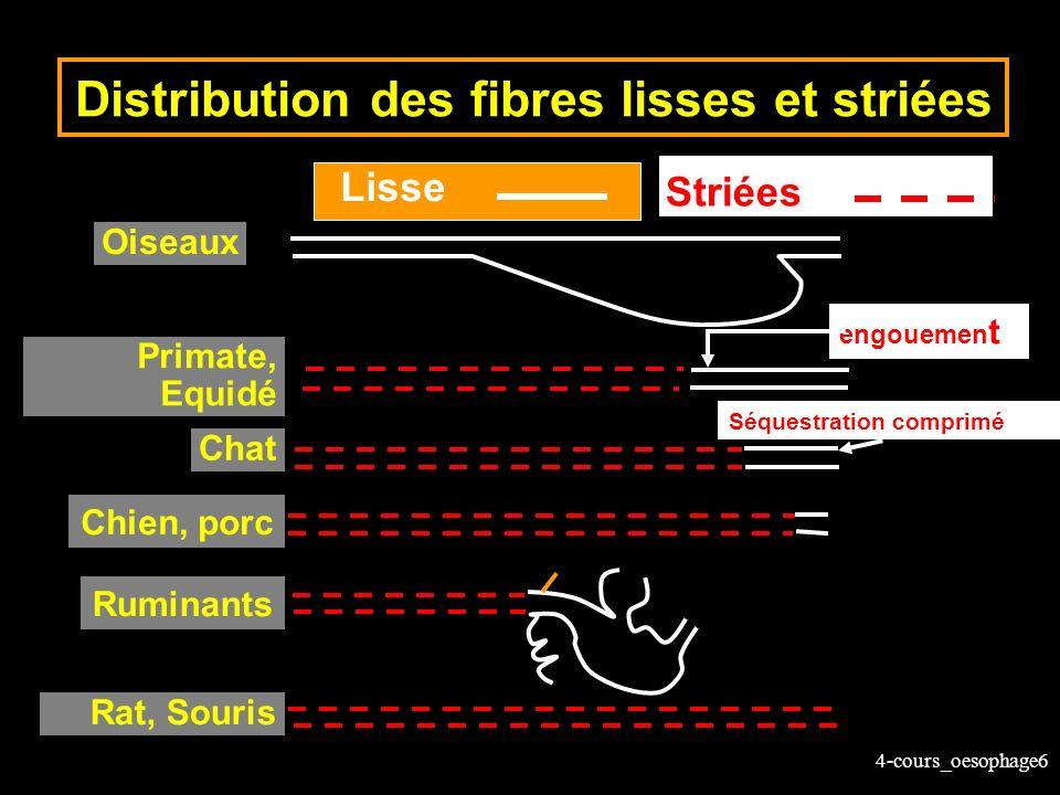 4-cours_oesophage6 Distribution des fibres lisses et striées Oiseaux Primate, Equidé Chat Rat, Souris Striées Lisse Ruminants Chien, porc engouemen t