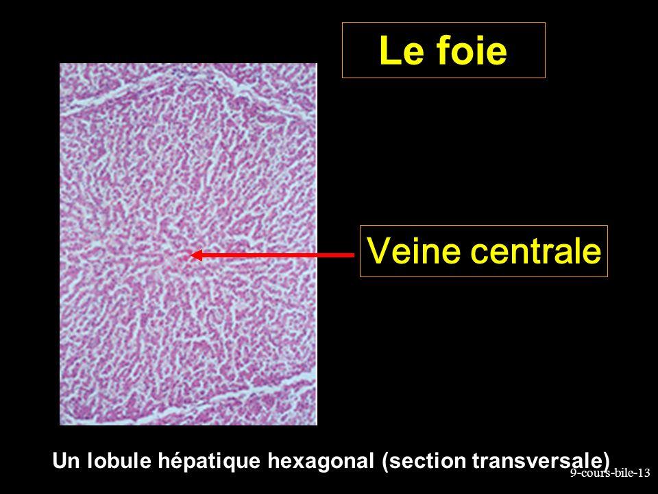 9-cours-bile-13 Le foie Un lobule hépatique hexagonal (section transversale) Veine centrale