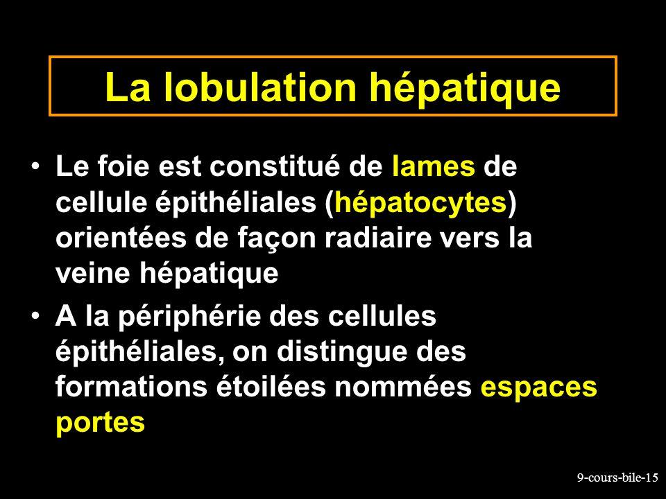 9-cours-bile-15 La lobulation hépatique Le foie est constitué de lames de cellule épithéliales (hépatocytes) orientées de façon radiaire vers la veine