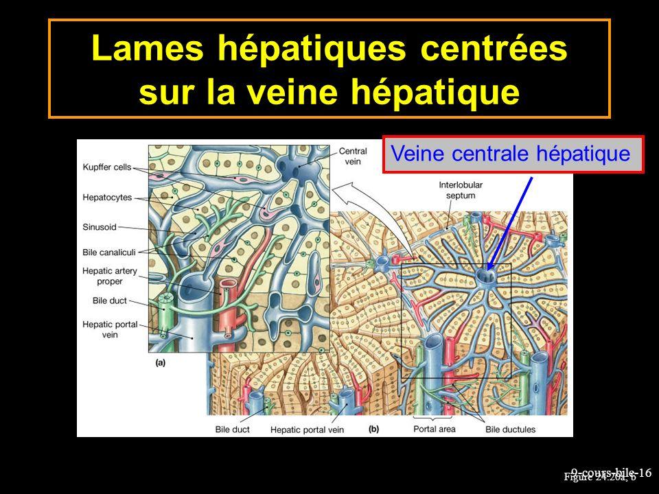 9-cours-bile-16 Figure 24.20a, b Lames hépatiques centrées sur la veine hépatique Veine centrale hépatique