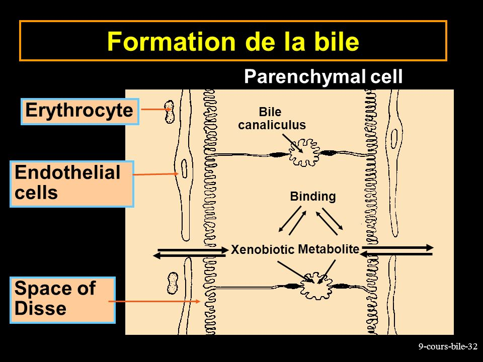 9-cours-bile-32 Bile canaliculus Erythrocyte Endothelial cells Space of Disse Xenobiotic Metabolite Binding Parenchymal cell Formation de la bile