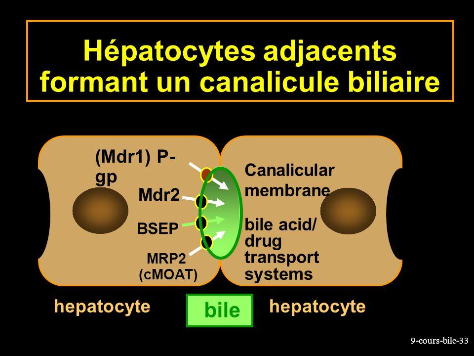 9-cours-bile-33 Hépatocytes adjacents formant un canalicule biliaire bile hepatocyte (Mdr1) P- gp MRP2 (cMOAT) BSEP Canalicular membrane bile acid/ dr