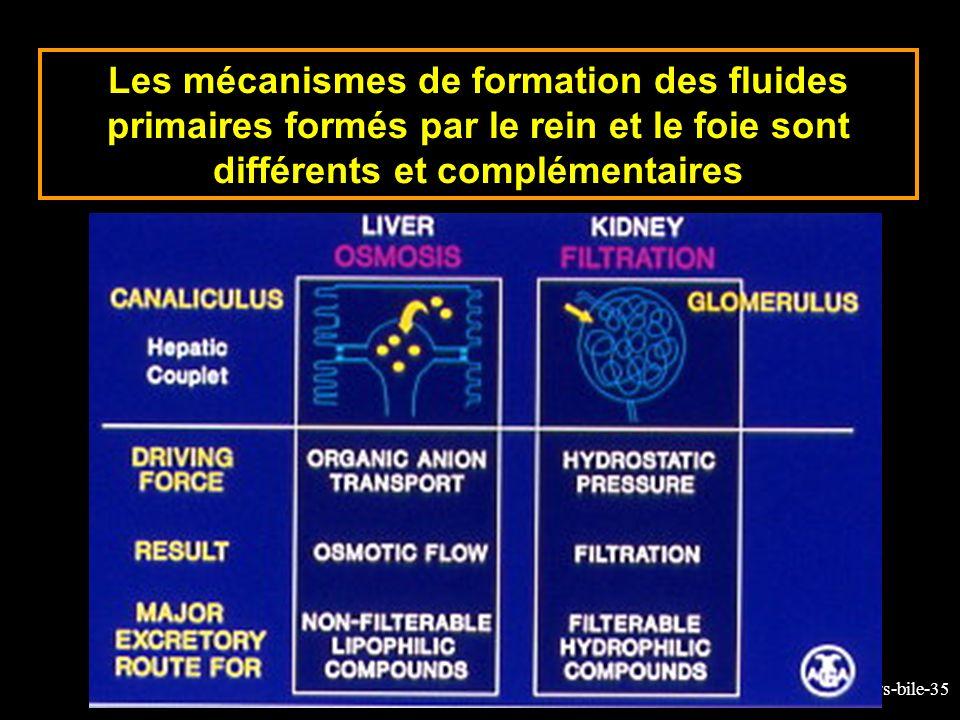 9-cours-bile-35 Les mécanismes de formation des fluides primaires formés par le rein et le foie sont différents et complémentaires