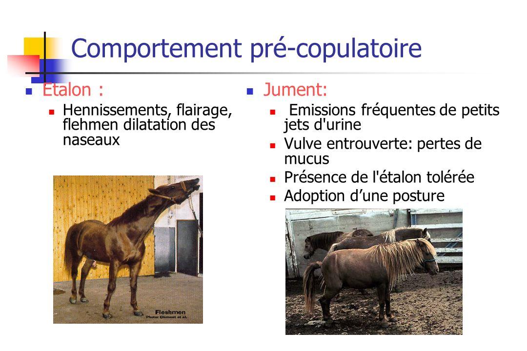 Comportement pré-copulatoire Etalon : Hennissements, flairage, flehmen dilatation des naseaux Jument: Emissions fréquentes de petits jets d'urine Vulv