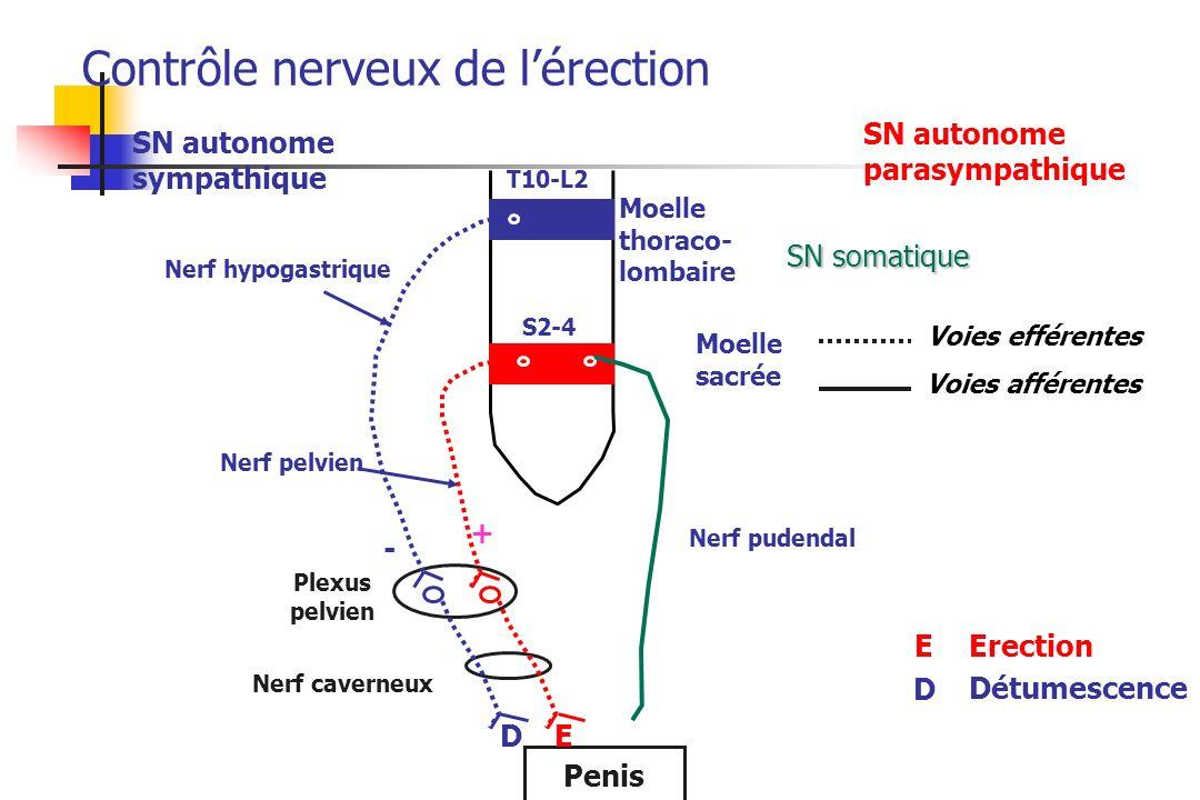 T10-L2 S2-4 SN autonome sympathique SN autonome parasympathique Moelle thoraco- lombaire Moelle sacrée Penis Nerf caverneux Plexus pelvien Nerf pelvie