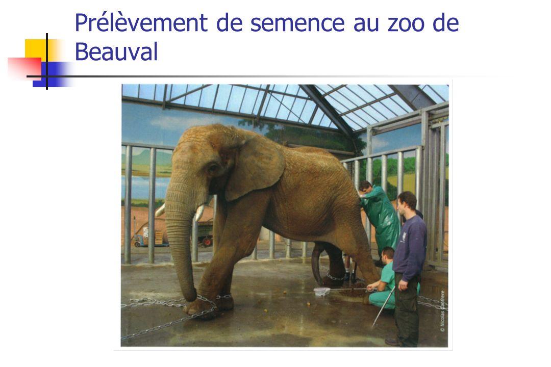 Prélèvement de semence au zoo de Beauval