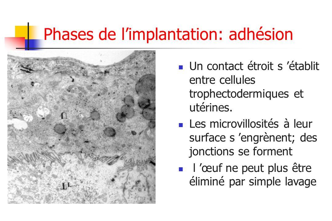 Phases de limplantation: adhésion Un contact étroit s établit entre cellules trophectodermiques et utérines. Les microvillosités à leur surface s engr
