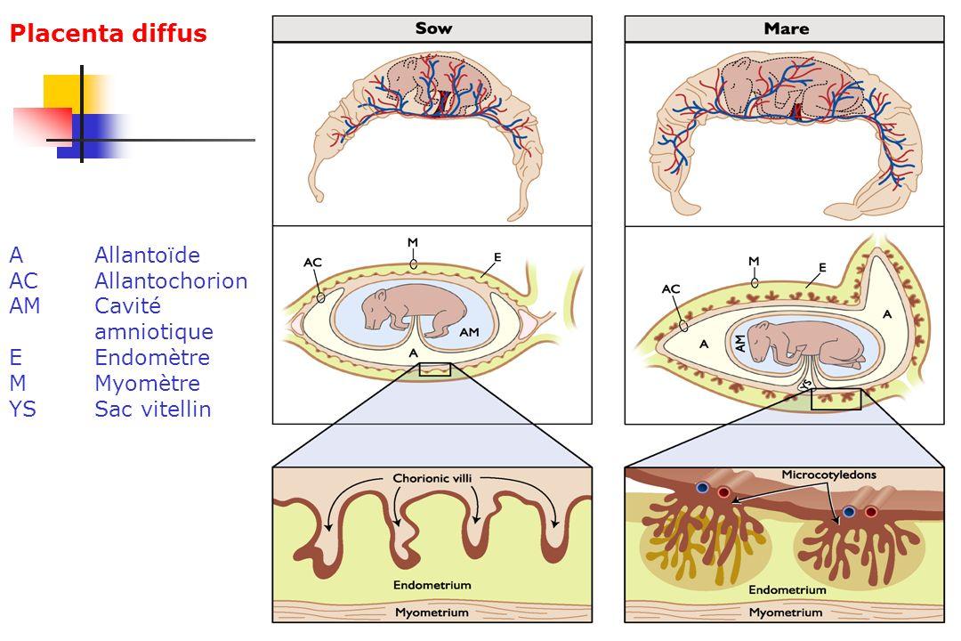 Placenta diffus A Allantoïde AC Allantochorion AM Cavité amniotique E Endomètre M Myomètre YS Sac vitellin