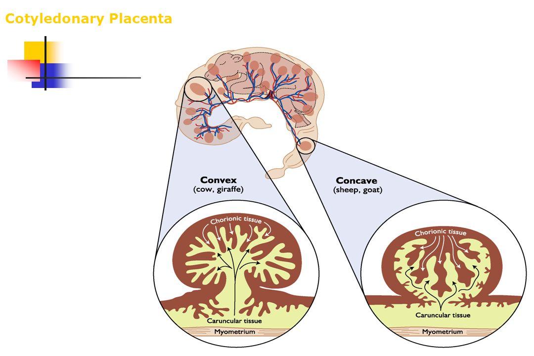 Cotyledonary Placenta