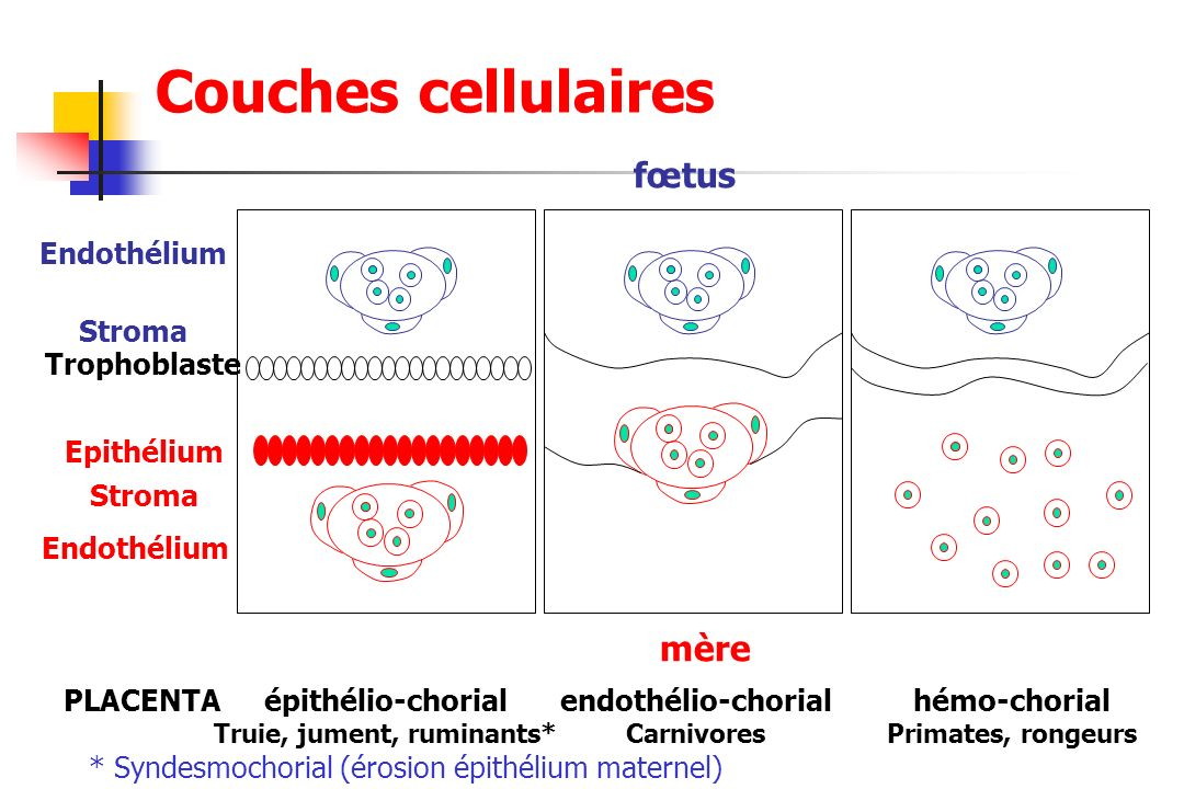 Couches cellulaires fœtus mère Endothélium Stroma Trophoblaste Epithélium Endothélium épithélio-chorial Truie, jument, ruminants* endothélio-chorial C