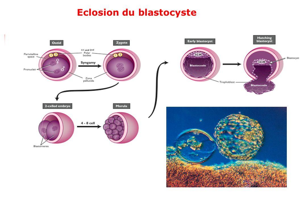 Formation des membranes foetales
