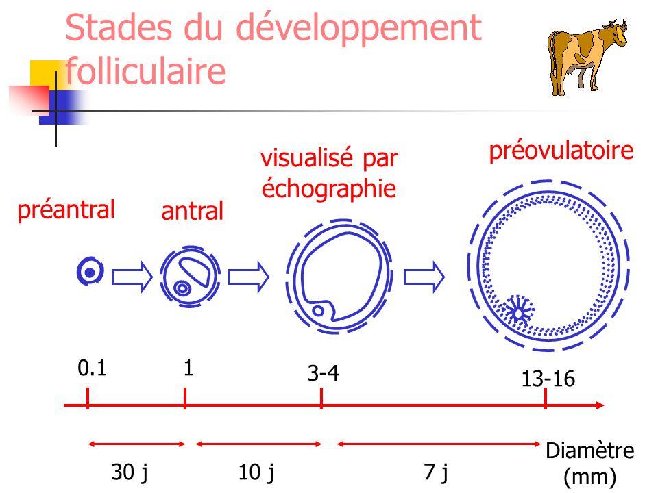 Stades du développement folliculaire préantral antral visualisé par échographie préovulatoire Diamètre (mm) 0.1 13-16 1 3-4 30 j10 j7 j