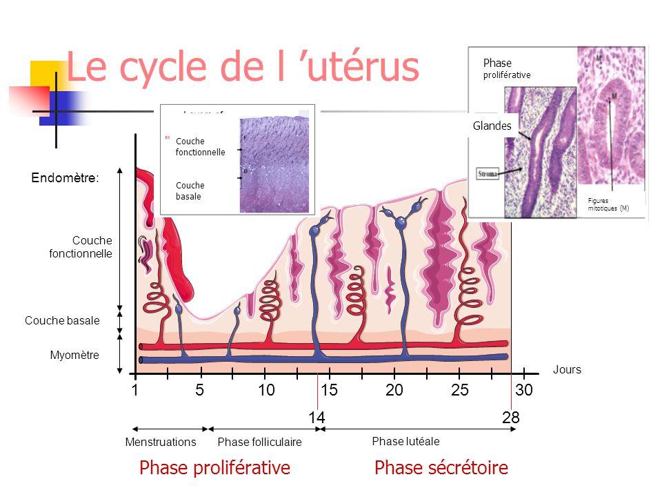 Le cycle de l utérus Phase folliculaire Phase lutéinique Endomètre: Myomètre Couche basale Couche fonctionnelle Phase proliférativePhase sécrétoire Ph