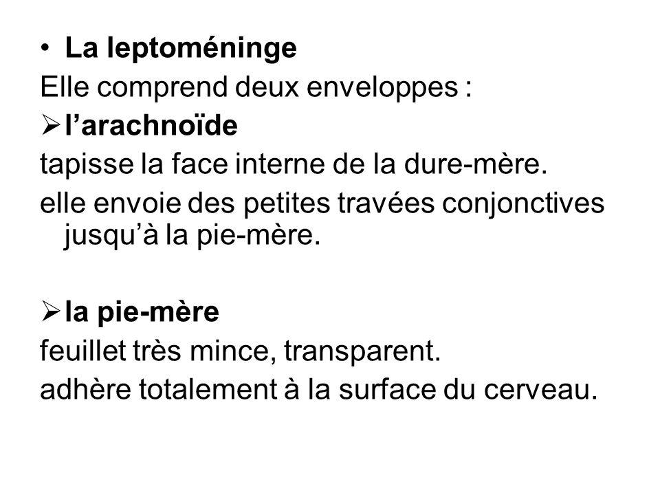 La leptoméninge Elle comprend deux enveloppes : larachnoïde tapisse la face interne de la dure-mère. elle envoie des petites travées conjonctives jusq