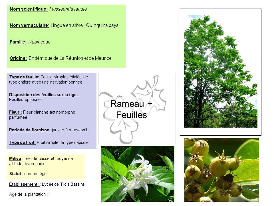 Etablissement : Lycée de Trois Bassins Age de la plantation : Nom scientifique: Mussaenda landia Nom vernaculaire: Lingue en arbre, Quinquina pays Fam