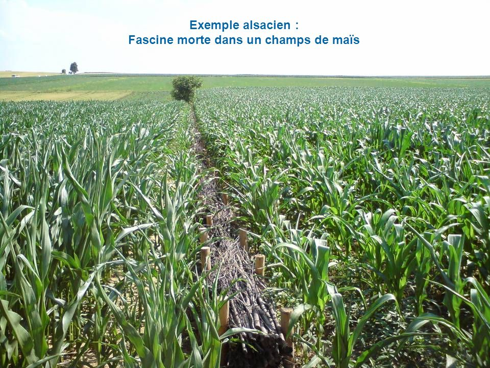 Exemple alsacien : Fascine morte dans un champs de maïs