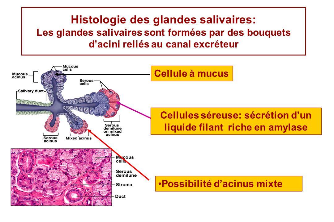 Histologie des glandes salivaires: Les glandes salivaires sont formées par des bouquets dacini reliés au canal excréteur Cellule à mucus Cellules sére