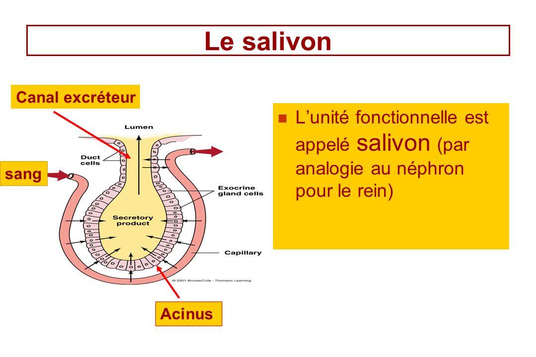 Le salivon Lunité fonctionnelle est appelé salivon (par analogie au néphron pour le rein) Acinus Canal excréteur sang