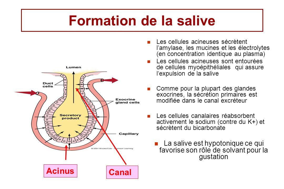 Formation de la salive Les cellules acineuses sécrètent lamylase, les mucines et les électrolytes (en concentration identique au plasma) Les cellules