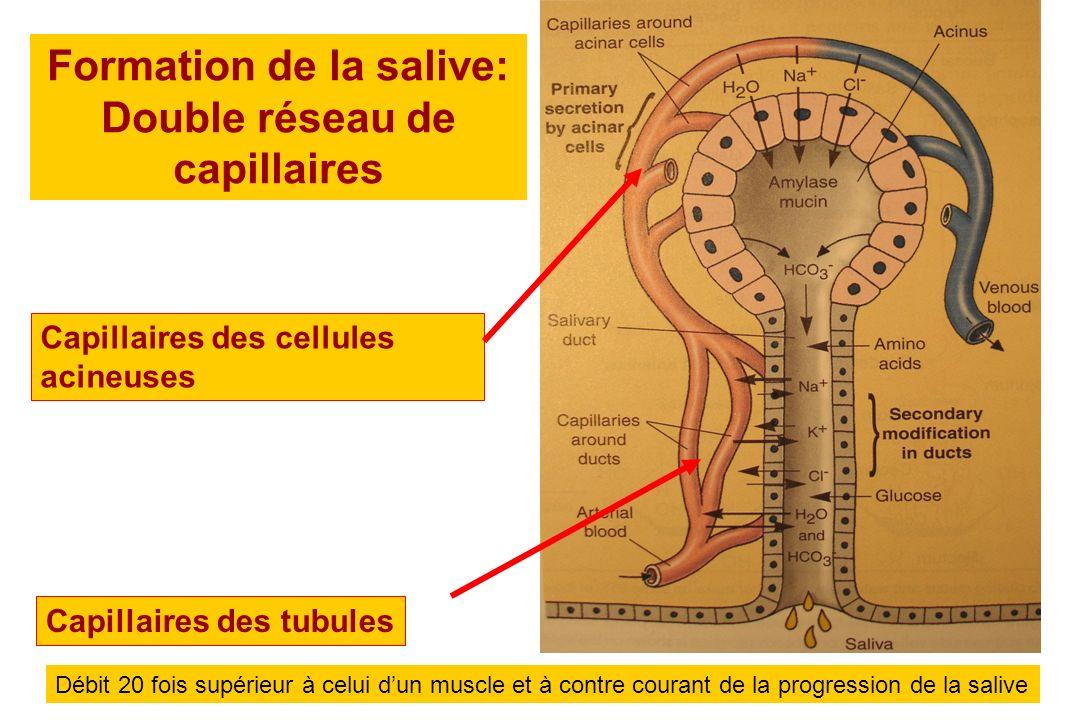 Formation de la salive: Double réseau de capillaires Capillaires des cellules acineuses Capillaires des tubules Débit 20 fois supérieur à celui dun mu