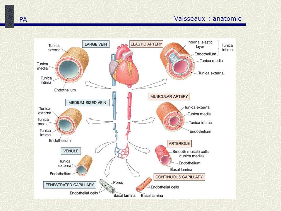 Vaisseaux : anatomie PA