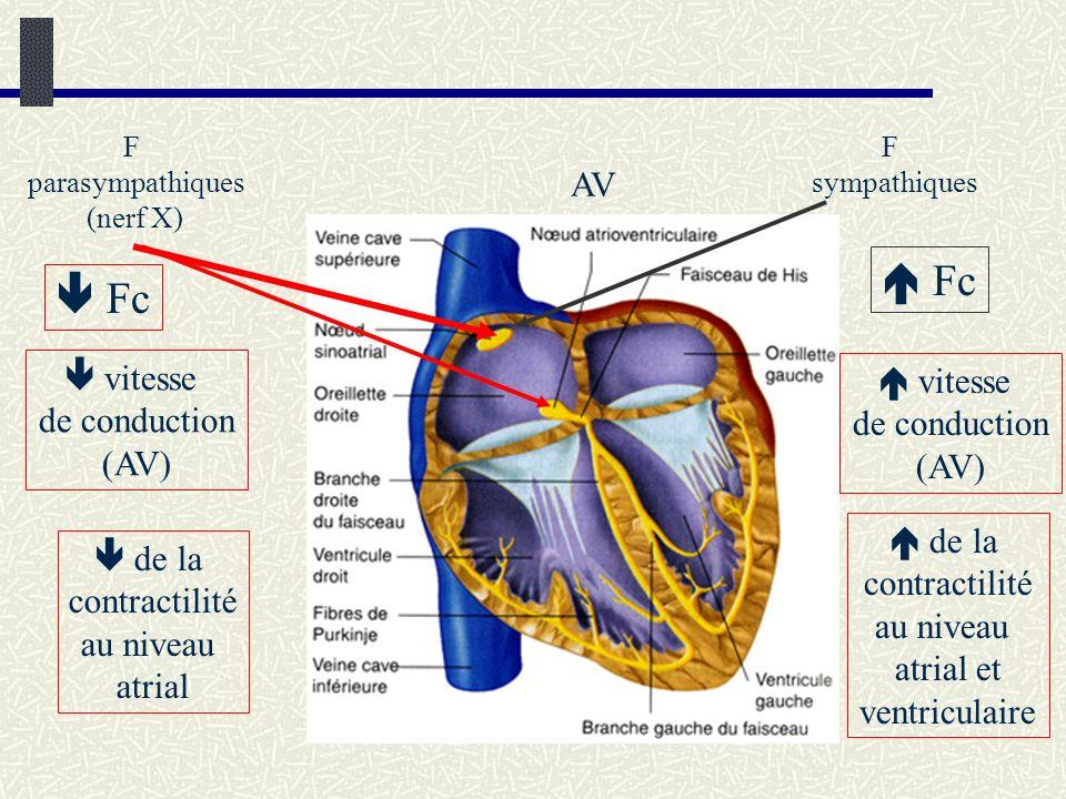 AV F parasympathiques (nerf X) F sympathiques Fc vitesse de conduction (AV) de la contractilité au niveau atrial vitesse de conduction (AV) de la cont