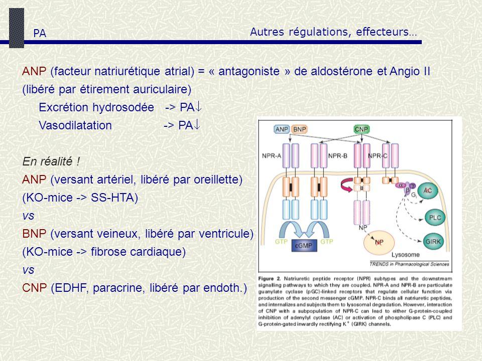 Autres régulations, effecteurs… ANP (facteur natriurétique atrial) = « antagoniste » de aldostérone et Angio II (libéré par étirement auriculaire) Exc