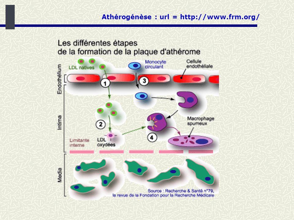 Athérogénèse : url = http://www.frm.org/