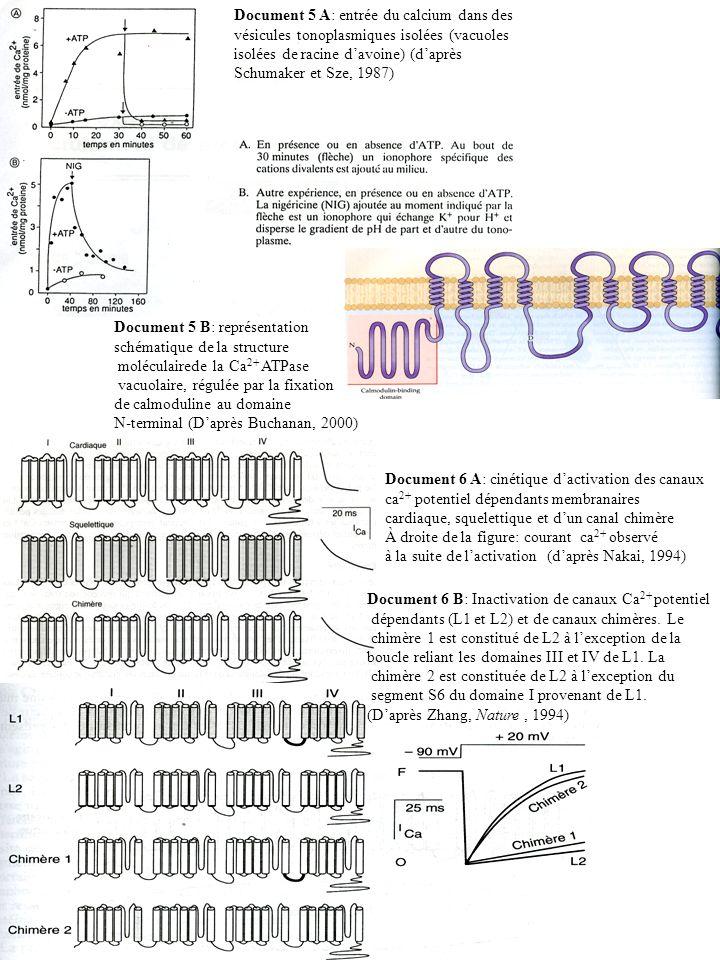 Document 5 A: entrée du calcium dans des vésicules tonoplasmiques isolées (vacuoles isolées de racine davoine) (daprès Schumaker et Sze, 1987) Documen