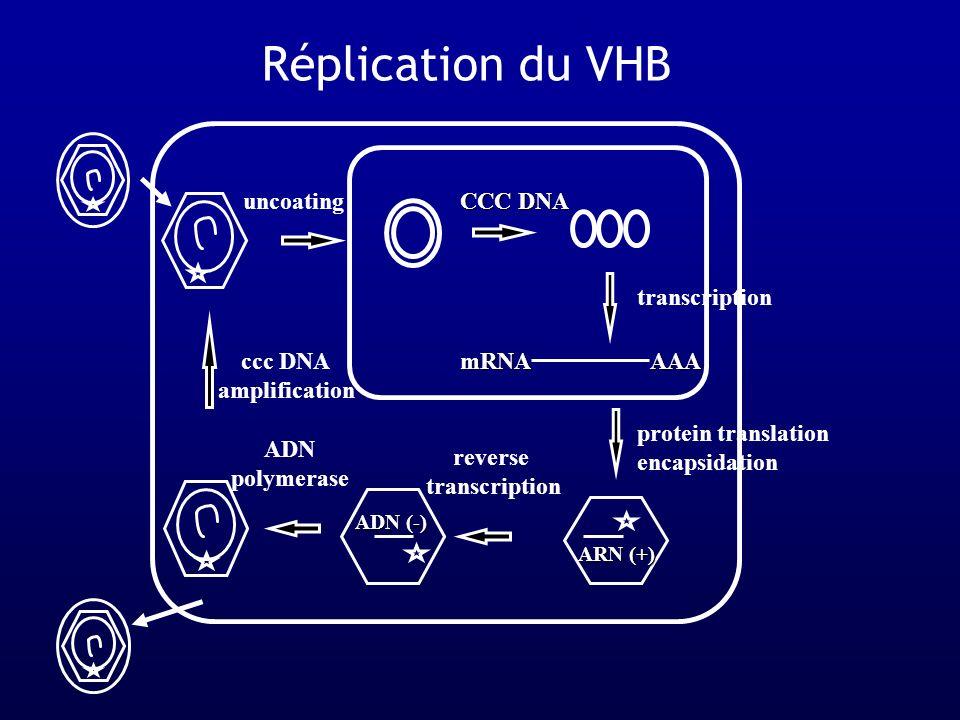AAA uncoating mRNA reverse transcription ADN polymerase CCC DNA ccc DNA amplification ADN (-) ARN (+) transcription protein translation encapsidation Réplication du VHB