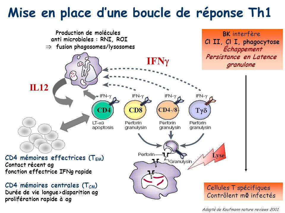 Mise en place dune boucle de réponse Th1 Production de molécules anti microbiales : RNI, ROI fusion phagosomes/lysosomes IFN CD4 CD4-/8- CD8 Lyse IL12