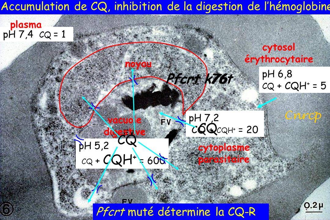 vacuole digestive cytoplasme parasitaire cytosol érythrocytaire pH 7,4 CQ = 1 pH 6,8 CQ + CQH + = 5 pH 7,2 CQ + CQH + = 20 pH 5,2 CQ + CQH + = 600 pla