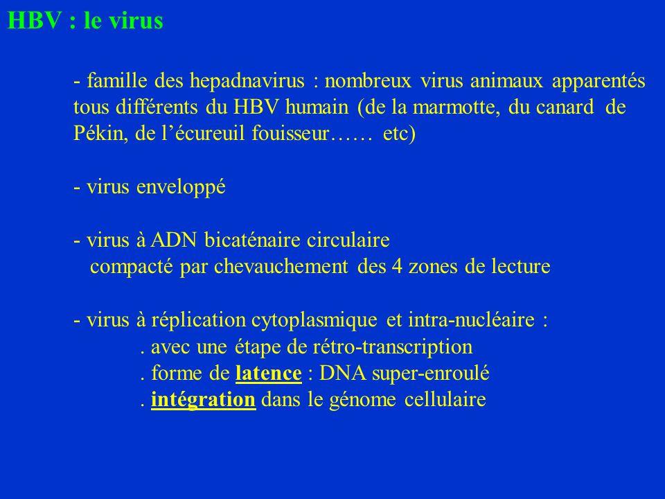 HBV : le virus - famille des hepadnavirus : nombreux virus animaux apparentés tous différents du HBV humain (de la marmotte, du canard de Pékin, de lécureuil fouisseur…… etc) - virus enveloppé - virus à ADN bicaténaire circulaire compacté par chevauchement des 4 zones de lecture - virus à réplication cytoplasmique et intra-nucléaire :.