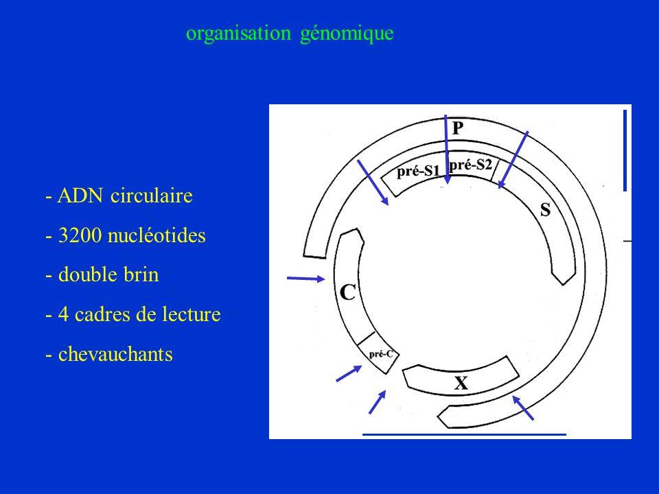- ADN circulaire - 3200 nucléotides - double brin - 4 cadres de lecture - chevauchants organisation génomique