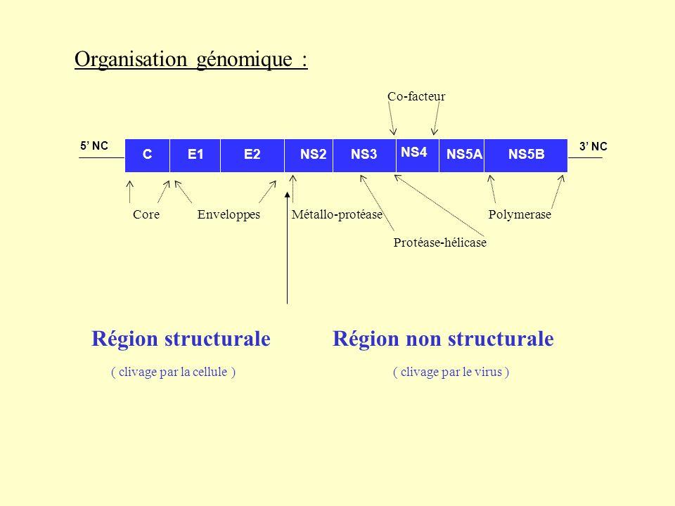 Organisation génomique : C 3 NC 5 NC E1E2NS2NS3NS5ANS5B Région structurale Région non structurale NS4 Métallo-protéase Polymerase Protéase-hélicase Co-facteur Core Enveloppes ( clivage par la cellule ) ( clivage par le virus )