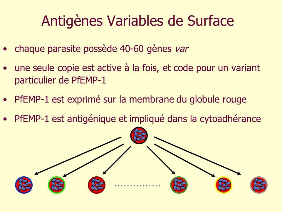 Antigènes Variables de Surface chaque parasite possède 40-60 gènes var une seule copie est active à la fois, et code pour un variant particulier de Pf