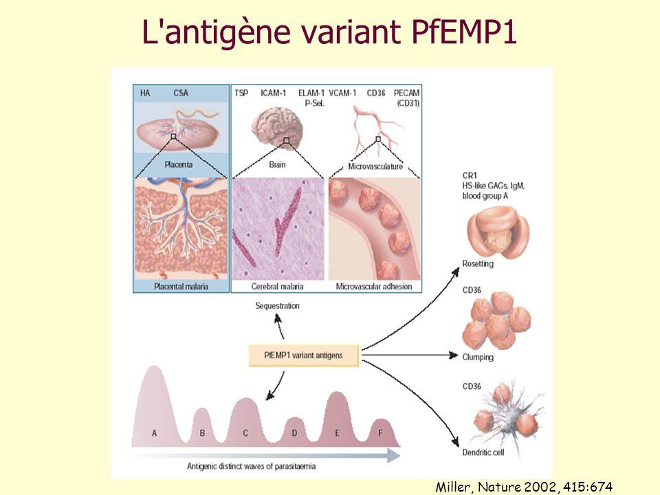 L'antigène variant PfEMP1 Miller, Nature 2002, 415:674