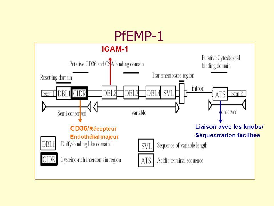 PfEMP-1 Liaison avec les knobs/ Séquestration facilitée CD36/ Récepteur Endothélial majeur ICAM-1