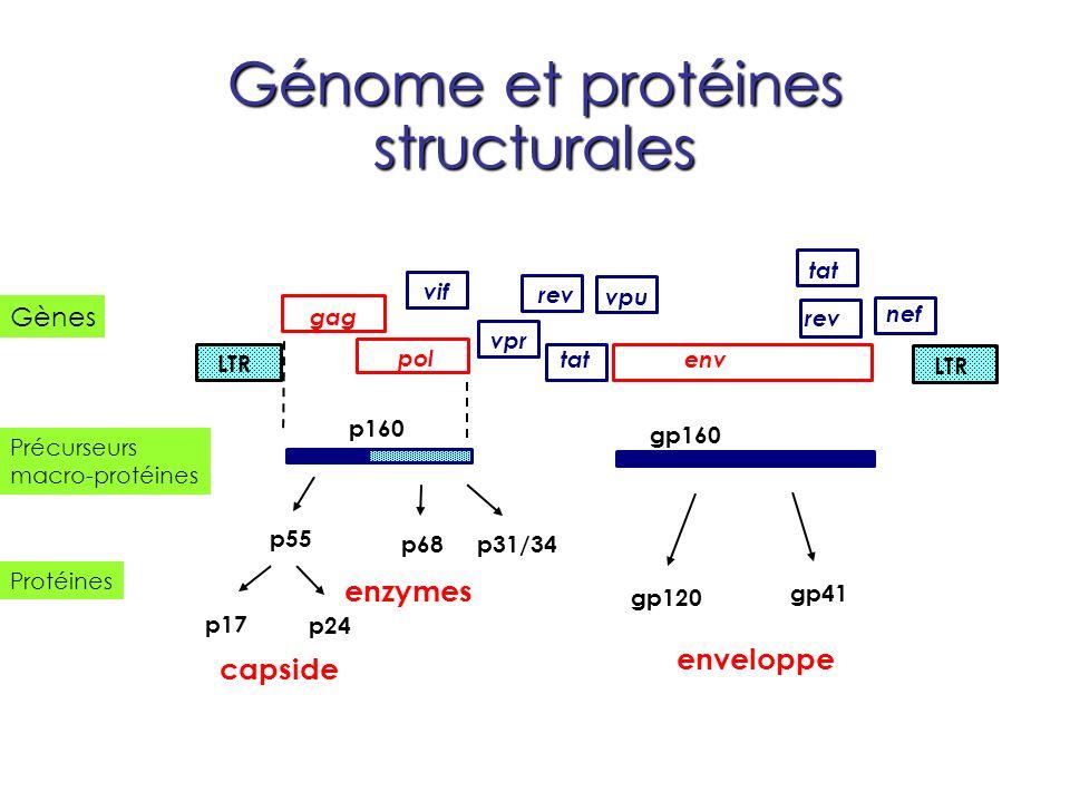 Génome et protéines structurales enzymes Gènes Protéines Précurseurs macro-protéines env tat nef rev tat LTR pol gag vif vpu vpr rev p160 p55 p68p31/3