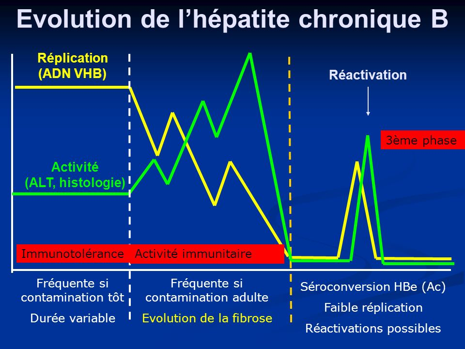 Evolution et marqueurs sériques des hépatites chroniques Phase 1 :tolérance Ag HBe + DNA ++++ ALAT normales Très contagieux Pas de biopsie Pas de traitement Phase 2 : clearance immune Ag HBe + Ag HBe + DNA + DNA + ALAT +++ ALAT +++ Hépatite chronique, lyse des hépatocytes TRT Phase 3 : Ag HBe – Ag HBe – Ac HBe + Ac HBe + DNA < 10 4 /ml DNA < 10 4 /ml ALAT normales ALAT normales rémission, portage inactif