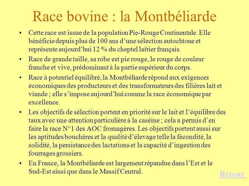 Race bovine : la Montbéliarde Cette race est issue de la population Pie-Rouge Continentale. Elle bénéficie depuis plus de 100 ans dune sélection autoc