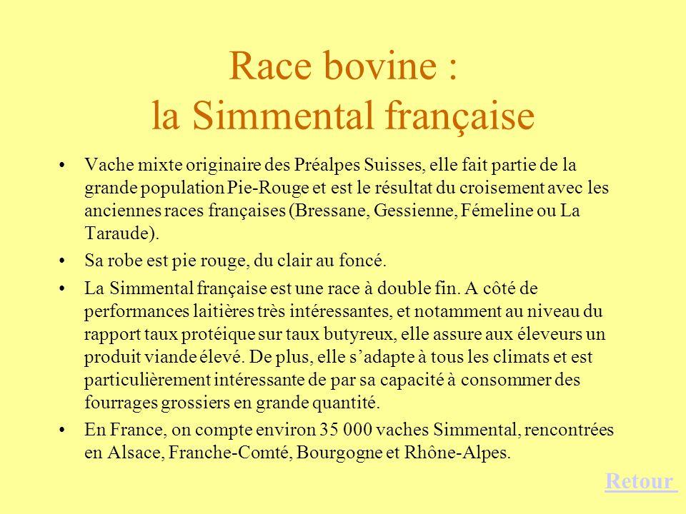 Race bovine : la Simmental française Vache mixte originaire des Préalpes Suisses, elle fait partie de la grande population Pie-Rouge et est le résulta